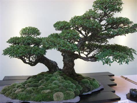 tips on how to grow bonsai plants at home mybktouch