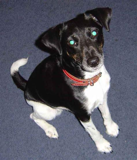 crossbreed dogs cross breeds