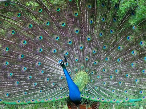 peacock wallpapers hd wallpapers fine peacock most beautiful bird high