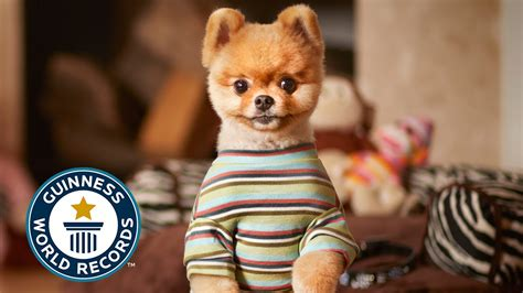 jiff the pomeranian jiff the pomeranian earns two places in the guinness book of world records for being