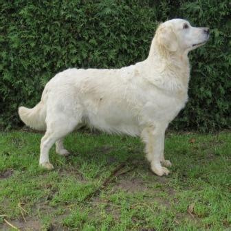 casey golden retrievers golden retriever mine hunde l 230 s om dem p 229 denne side