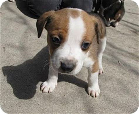 pointer mix puppies boxer pointer mix memes