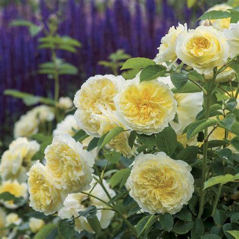 Die Sch Nsten Balkonpflanzen 3395 by Englische Ein Visueller Genuss Im Garten