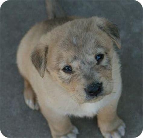 golden retriever husky mix for adoption zane adopted puppy torrance ca golden retriever husky mix