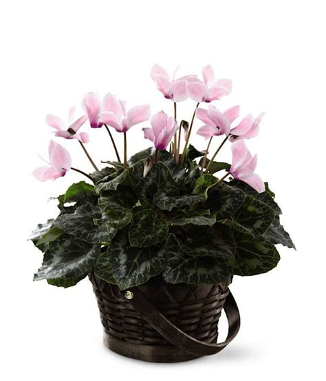 most common flowering house plants 5 common houseplants that are toxic to pets grower