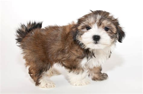 top ten cutest dogs morkie breeds picture