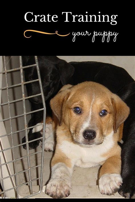 crate training 1000 ideas about crate training on pinterest golden