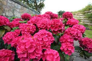 colorful bushes how to plant colorful flowering azaleas rhodos espoma