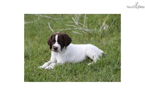 puppy utah german shorthaired pointer puppy for sale near st george utah 96a17554 7a71