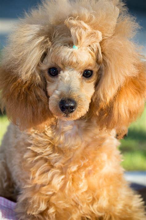 poodle colors apricot poodle terrier mix