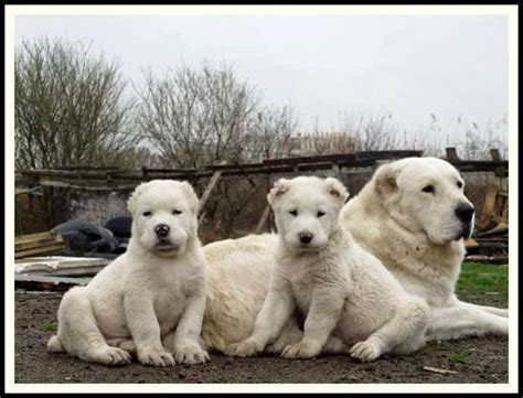 alabai puppies 34 best images about dogs on guard samoyed dogs and newfoundland