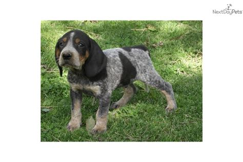 bluetick coonhound puppies bluetick coonhound puppies and dogs for sale and adoption breeds picture
