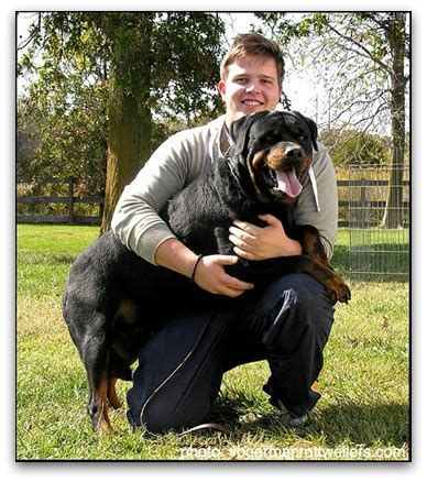 rottweiler kennel rottweiler pups kennel dogs our friends photo