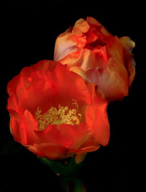 fiori fico fiori di fico d india juzaphoto