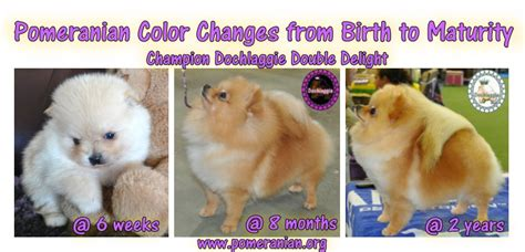 pomeranian coat colors pomeranian color changes from birth to maturity pomeranian information and facts