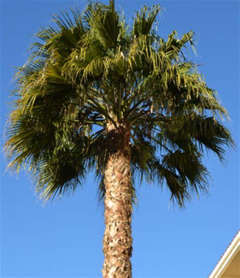 planting fan palm trees fan palm drought tolerant trees san diego