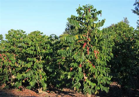 berapa  usia pohon kopi sebenarnya majalah otten coffee