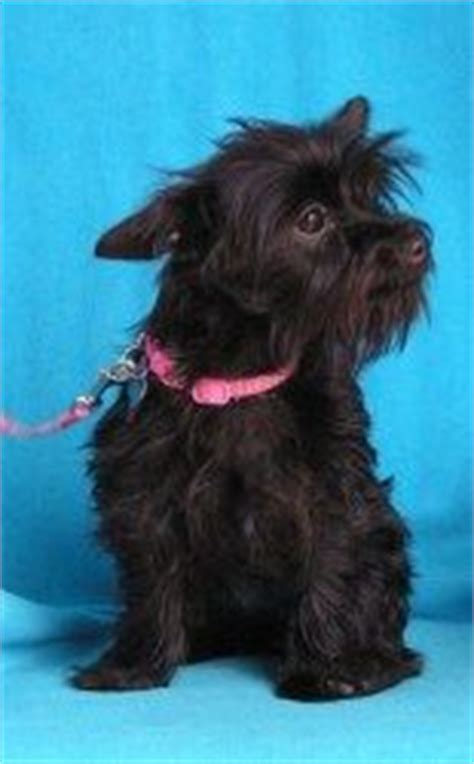 yorkie scottie mix yorkie scottie mix breeds picture