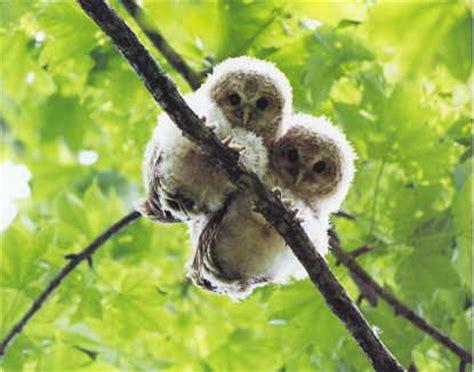 Barn Owl Noise Snailia Baby Owls
