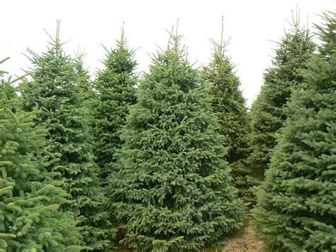 christmas tree farms in southeast michigan 28 best tree farms in southeast michigan tree farms in southeast