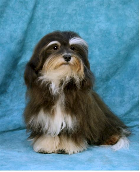 havanese massachusetts pin club havanese web site about the in central america on