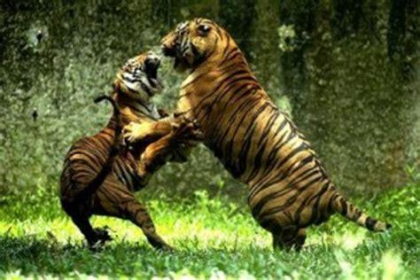 imagenes de leones y tigres peleando dos tigres peleando en sud 225 frica animales en video