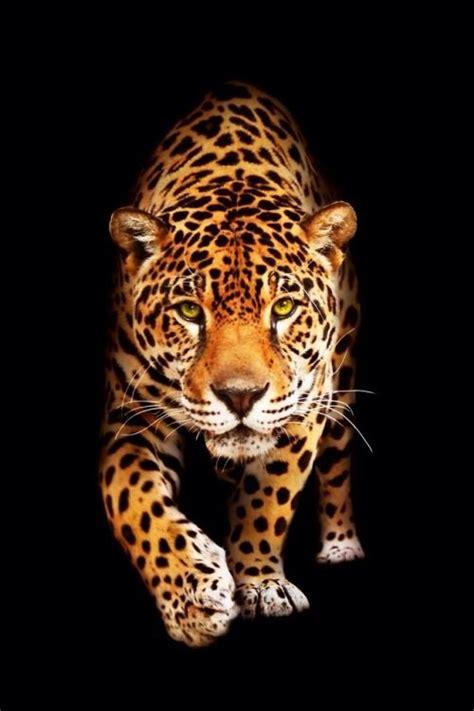 tappezzeria gatti pin di daniela melis su animali animals leopard