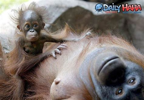 Not Sleeping With Monkey Ban Monkey Ibnlivecom Cnn Ibn by Looking Monkey Www Pixshark Images Galleries