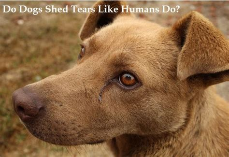 can dogs cry tears can dogs cry like humans do pethelpful
