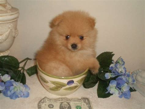 tiny micro teacup pomeranian sale teacup pomeranian puppies of teacup pomeranian puppies for sale pomeanian puppy