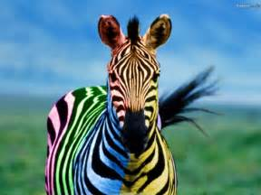 colorful zebra 30 awesome zebra wallpaper collection creativefan