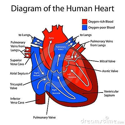 blood flow diagram blood flow diagram human diagram blood flow