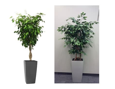 office plants plant of the month ficus benjamina moore park