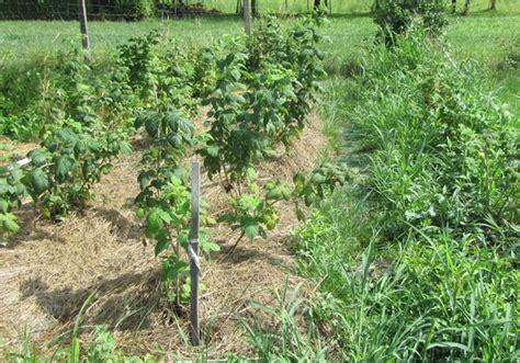wann muss tomaten sã en mulch giftfreies g 228 rtnern