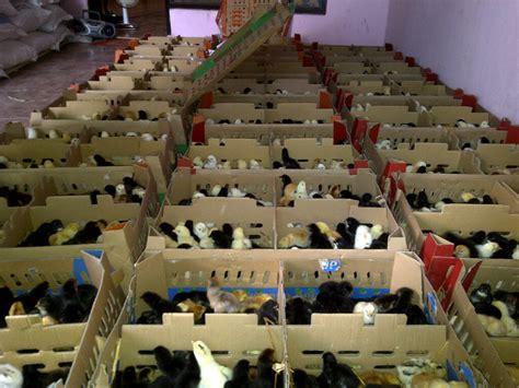 Bibit Ayam Pedaging Doc pusat penjualan doc ayam kung unggulan jogja farm