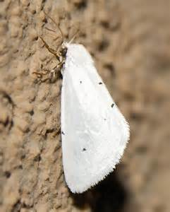 white with black spots white moth with black spots