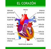 Educarchile  El Corazon