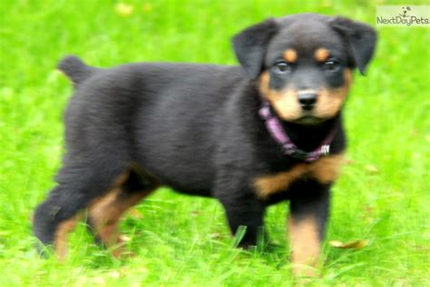 puppy rottweiler for sale near me rottweiler puppy for sale near lancaster pennsylvania 8ce695b2 51b1