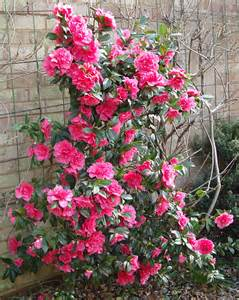 camellias blooming well the idle gardener