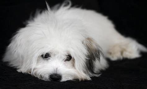 coton de tulear puppies for sale florida differences between bolognese dogs and havanese dogs breeds picture