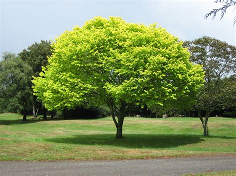 a tree file bright green tree waikato jpg