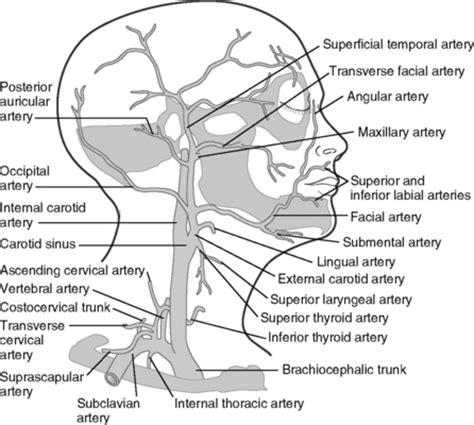 arteries in the neck diagram 1 anatomic sciences pocket dentistry