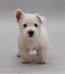 New Bathroom Images by Dog Westie Pup Photo Wp09388