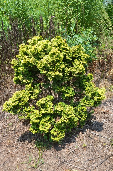 no scorch verdoni dwarf hinoki cypress what grows