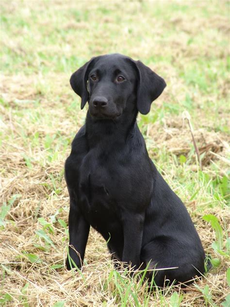 black lab manliest breeds listoid