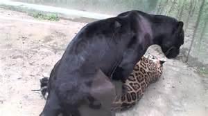 Jaguar Vs Panther Difference Between Leopard And Jaguar Apps Directories