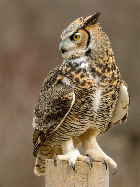 Owl In owl www pixshark images galleries with a bite