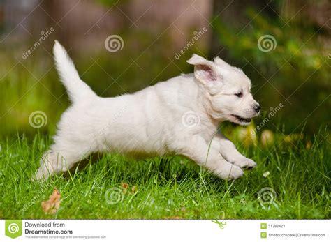 golden retriever puppies running golden retriever puppy running outdoors stock photos image 31783423