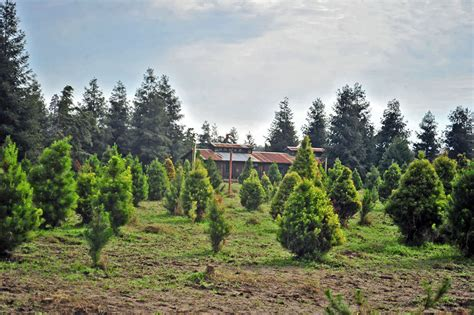 gallery of christmas tree farms fresno ca fabulous homes