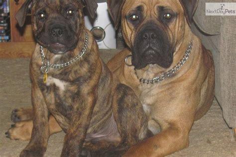 bullmastiff puppies for sale indiana bullmastiff information and pictures bullmastiff puppy breeds picture